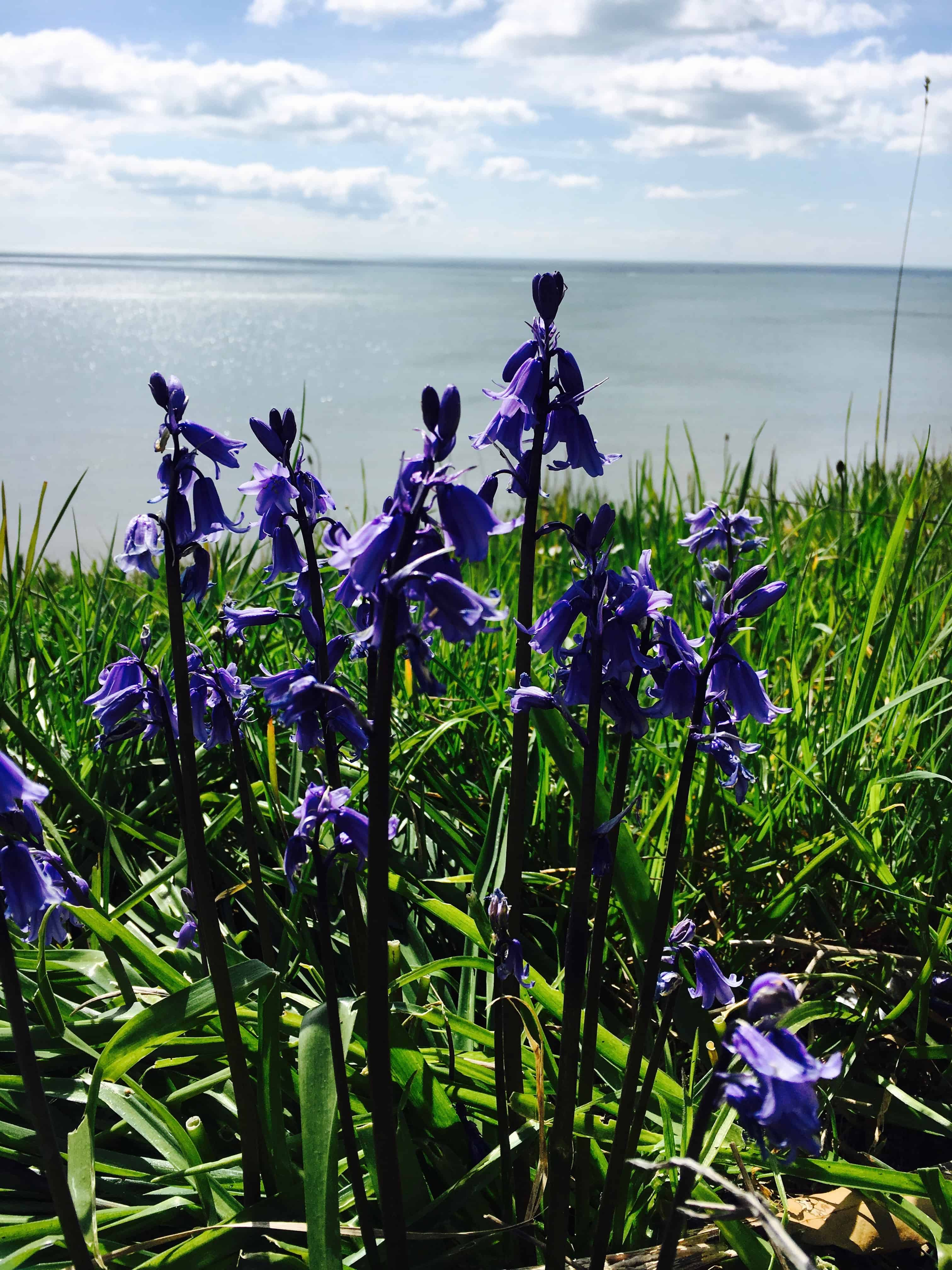Bluebells by the Sea