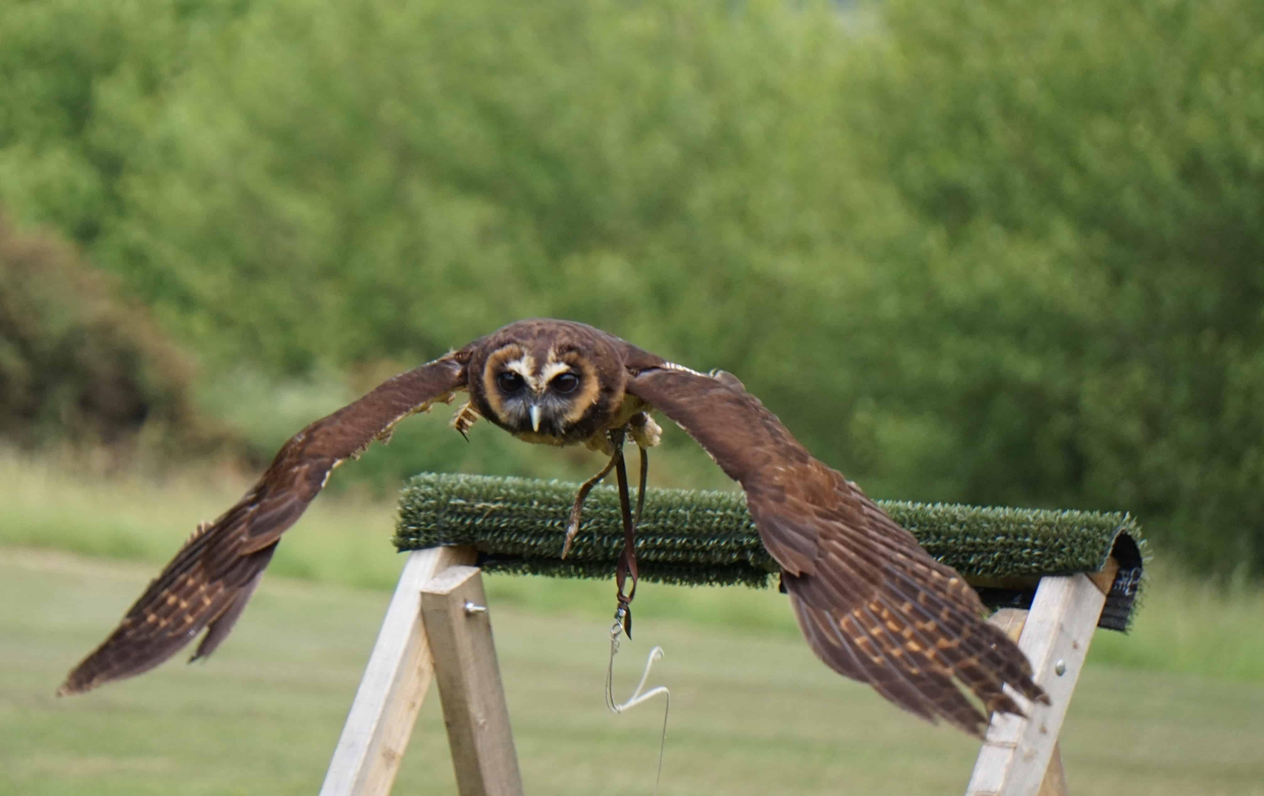 Owl - Robin Hill