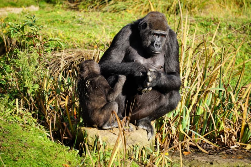 Gorilla - Bristol Zoo