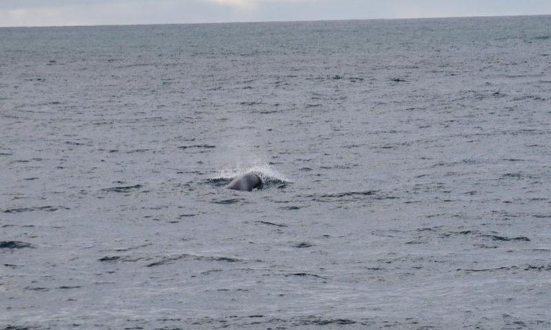 Minke-Whale-1