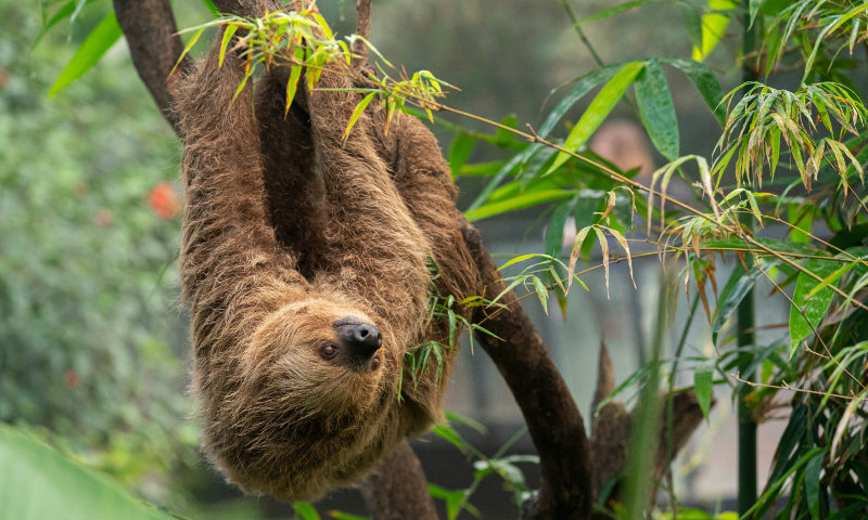 Marwell Zoo - Linne's two toed sloth