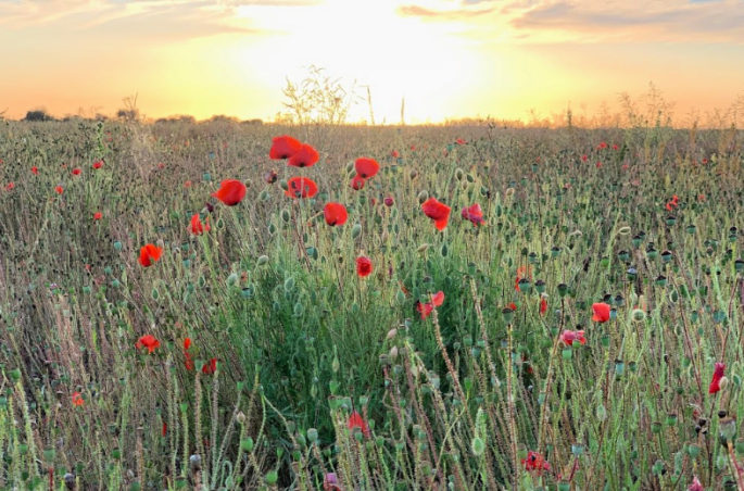 Poppies-at-sunset