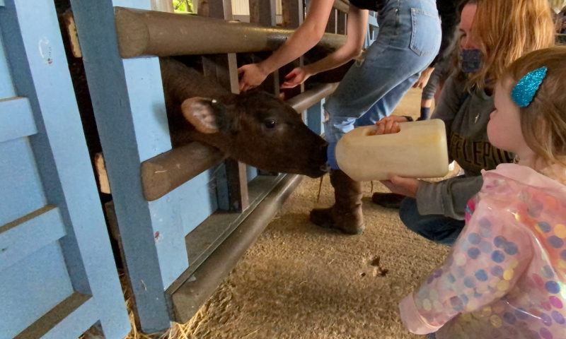 Bottle-feeding-cows