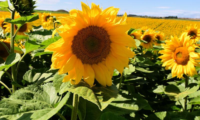 Dorset-Sunflower-Trail-Field